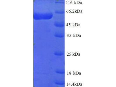 MINPP1 Protein