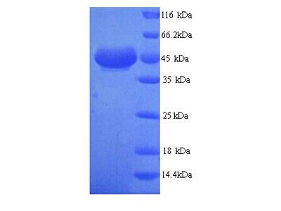 ADH7 Protein