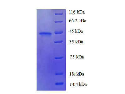 FAM110B / C8orf72 Protein