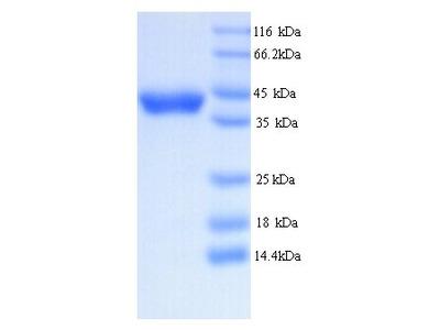 DAO / D Amino Acid Oxidase Protein