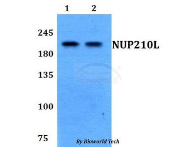 NUP210L Antibody