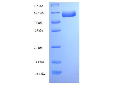 ACTL7A Protein