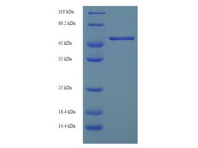H2-D1 Protein