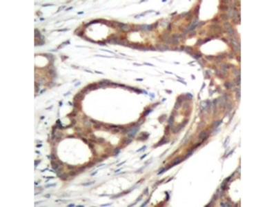 PER2 Antibody