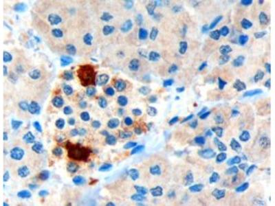 PPY Antibody