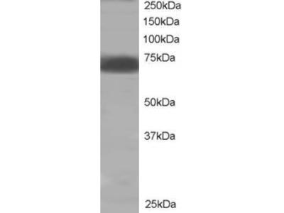 PTPN11 Antibody