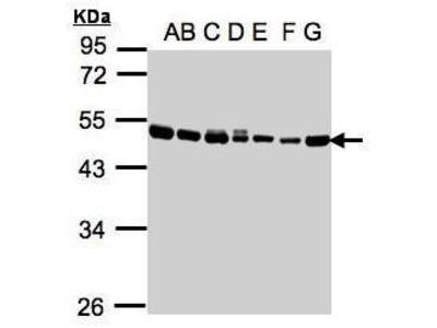 Anti-EEF1A2 antibody [C1C3]