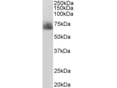 SLC6A4 Antibody