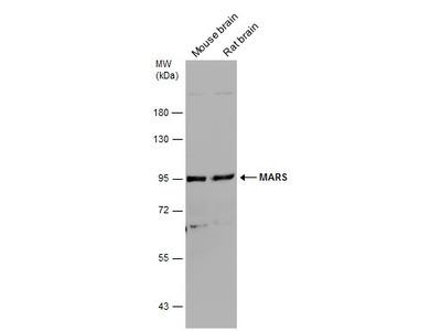 Anti-MARS antibody [N3C2], Internal