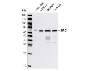 NAC1 Antibody (Human Preferred)