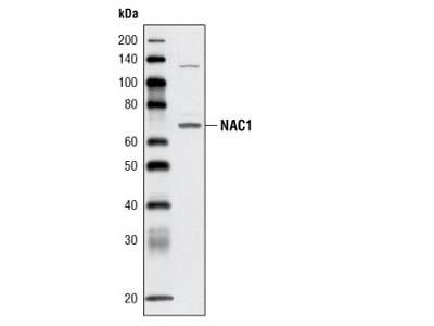 NAC1 Antibody (Rodent Preferred)
