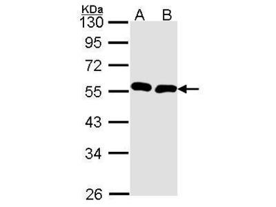 Anti-BMP9 antibody [C3], C-term