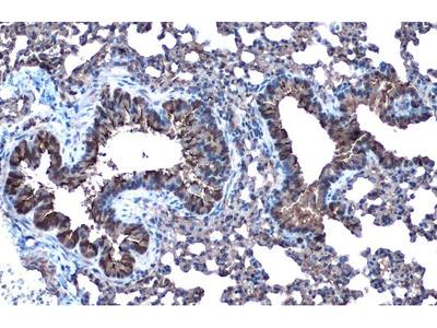 Anti-alpha Tubulin 4a antibody
