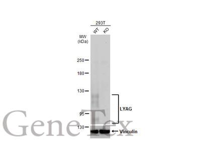 Anti-LYAG antibody [C2C3], C-term