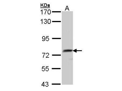 Anti-QSOX1 antibody [N2C2], Internal