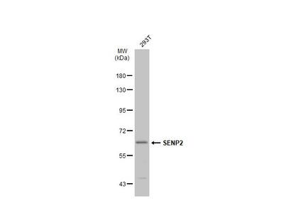 Anti-SENP2 antibody [N1], N-term