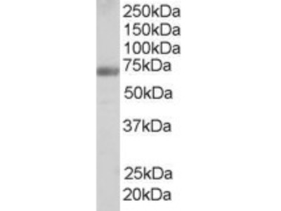 FBP17 Antibody