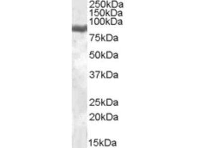 LTF Antibody