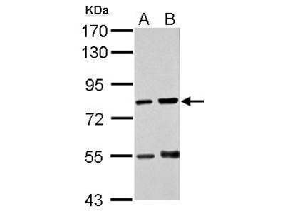 Anti-RED antibody [N1], N-term