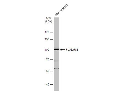 Anti-FLJ32786 antibody [N2C1], Internal