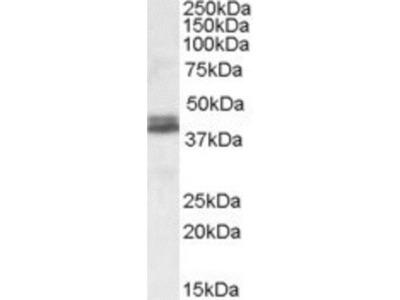 Goat Polyclonal Nudel Antibody