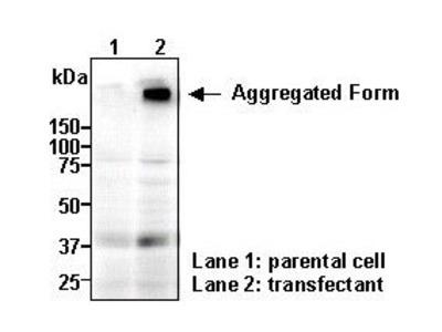 Anti-SLC16A2 (MCT8) (Human) pAb