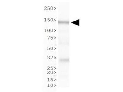 CAF1 p150 Antibody