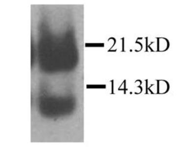 CCL21 Antibody