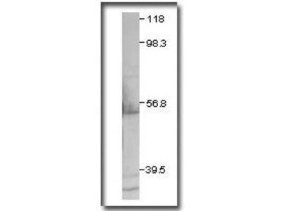 CXCR2 Antibody