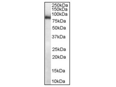anti MID2 / RNF60 (723-735)
