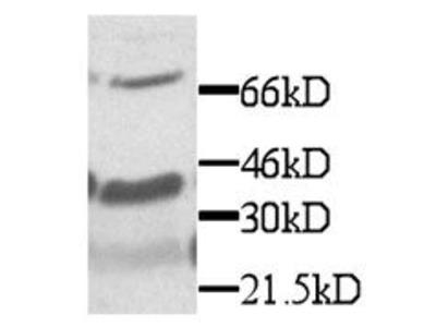 CX3CL1 Antibody
