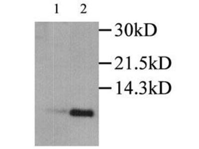 CCL3 Antibody