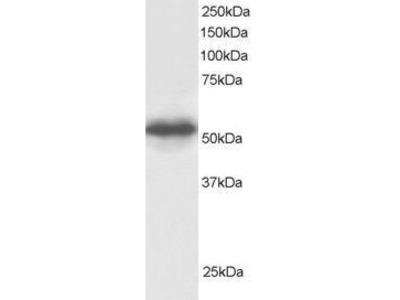 GPS1 Polyclonal Antibody