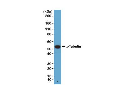 Anti-alpha Tubulin antibody [RM113]