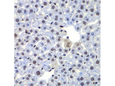 Anti-CEBP gamma antibody