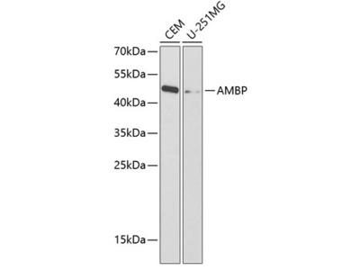 Anti-Alpha 1 Microglobulin antibody