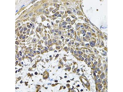 Anti-ICOS Ligand antibody