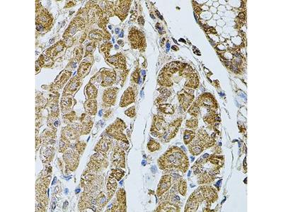 Anti-CHRFAM7A antibody