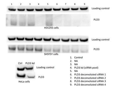 PLD3 antibody - KD/KO Validated