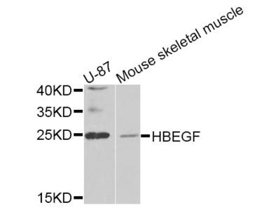 HBEGF Antibody
