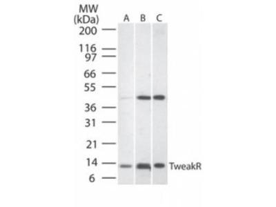 CD266 Polyclonal Antibody