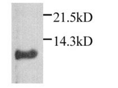 CXCL1 Polyclonal Antibody