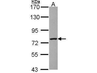 anti-Zinc Finger, BED-Type Containing 1 (ZBED1) (N-Term) antibody