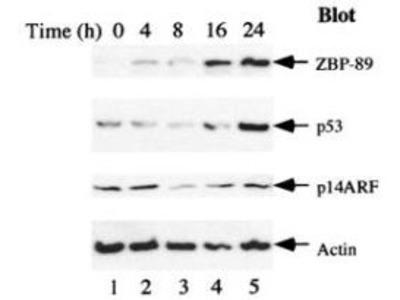ZBP-89 Antibody