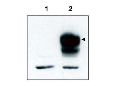 TrkCT1 Antibody
