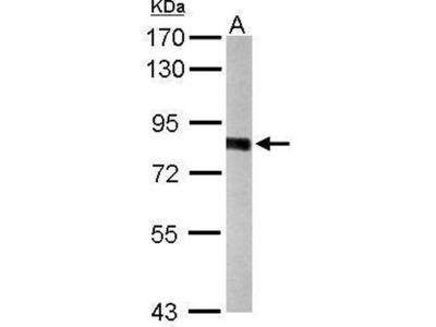 anti-PWP2H (PWP2) antibody