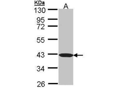 anti-BEND5 antibody