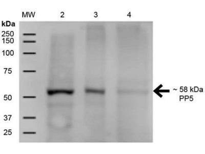 anti-Protein Phosphatase 5, Catalytic Subunit (PPP5C) antibody (Atto 390)
