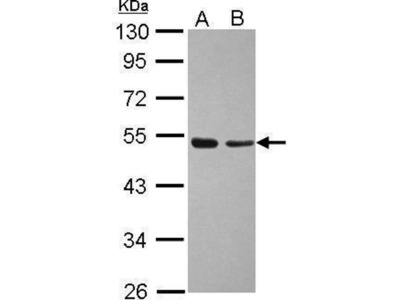 anti-TAF7 (TBP-associated factor 7) antibody