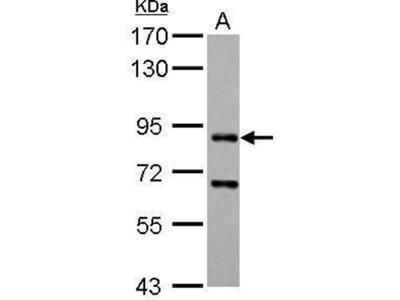 anti-Cd2ap (CD2-associated protein) antibody